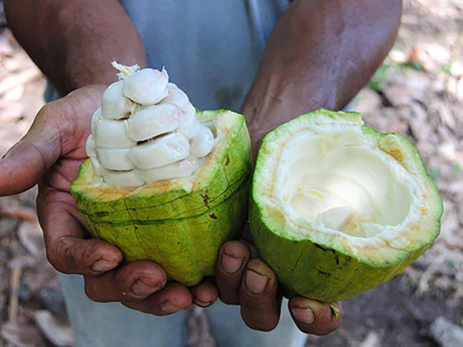 Cacaovruchten hebben de vorm en grootte van een rugbybal. Ze bevatten 20 tot 50 (witte) cacaobonen.