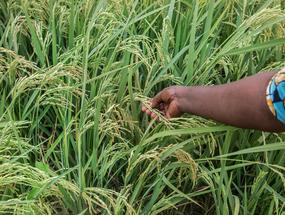 Hand in rijstveld